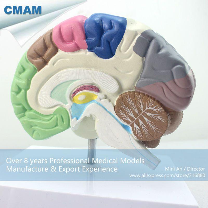 CMAM-BRAIN09 Human Model of Functional Brain, Anatomy Models > Brain ...