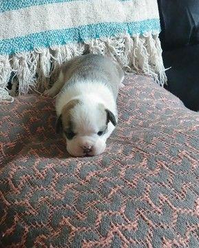 Dixie French Bulldog Puppy For Sale In Ohio Bulldog Puppies