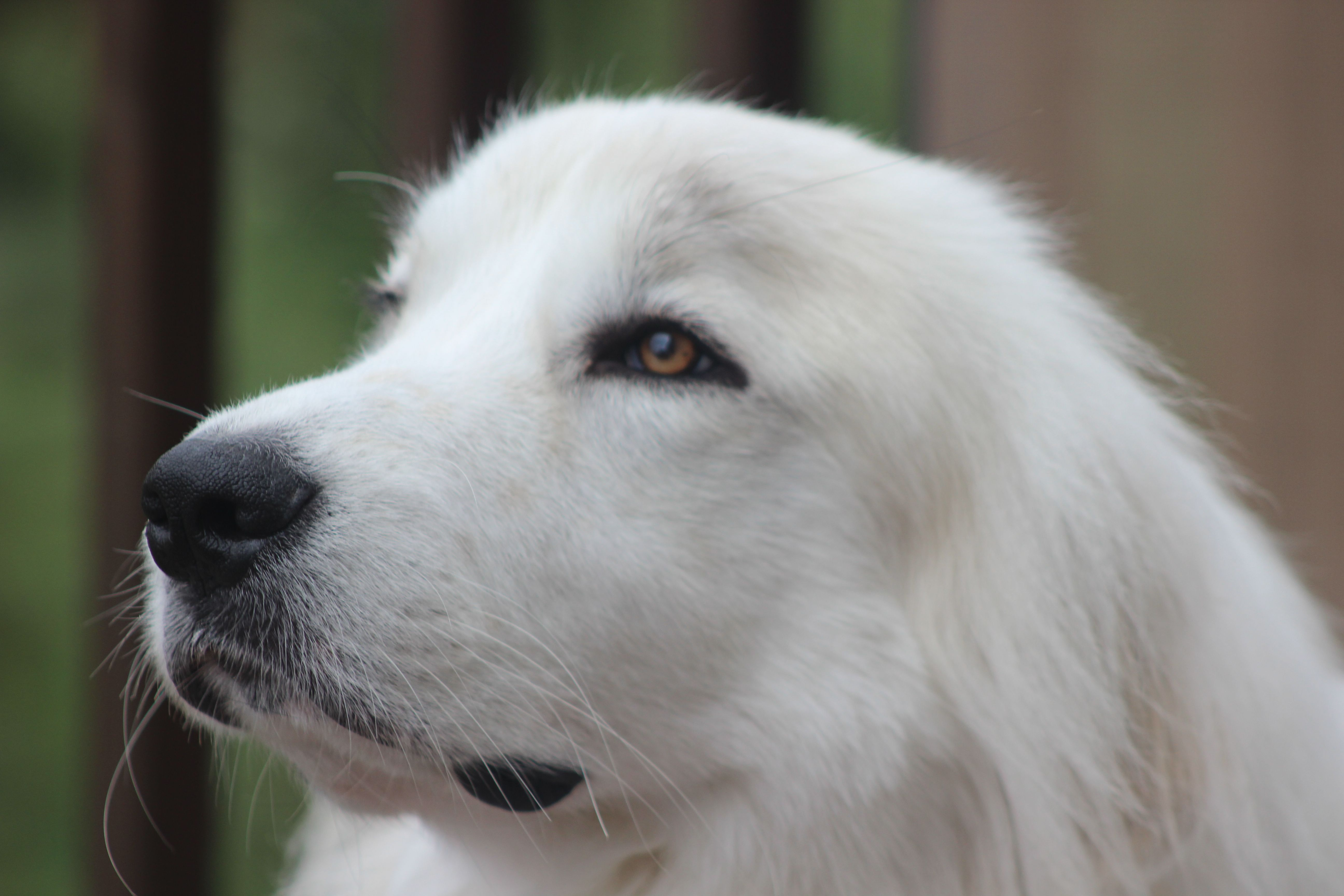 Great Pyrenees---Dunkin