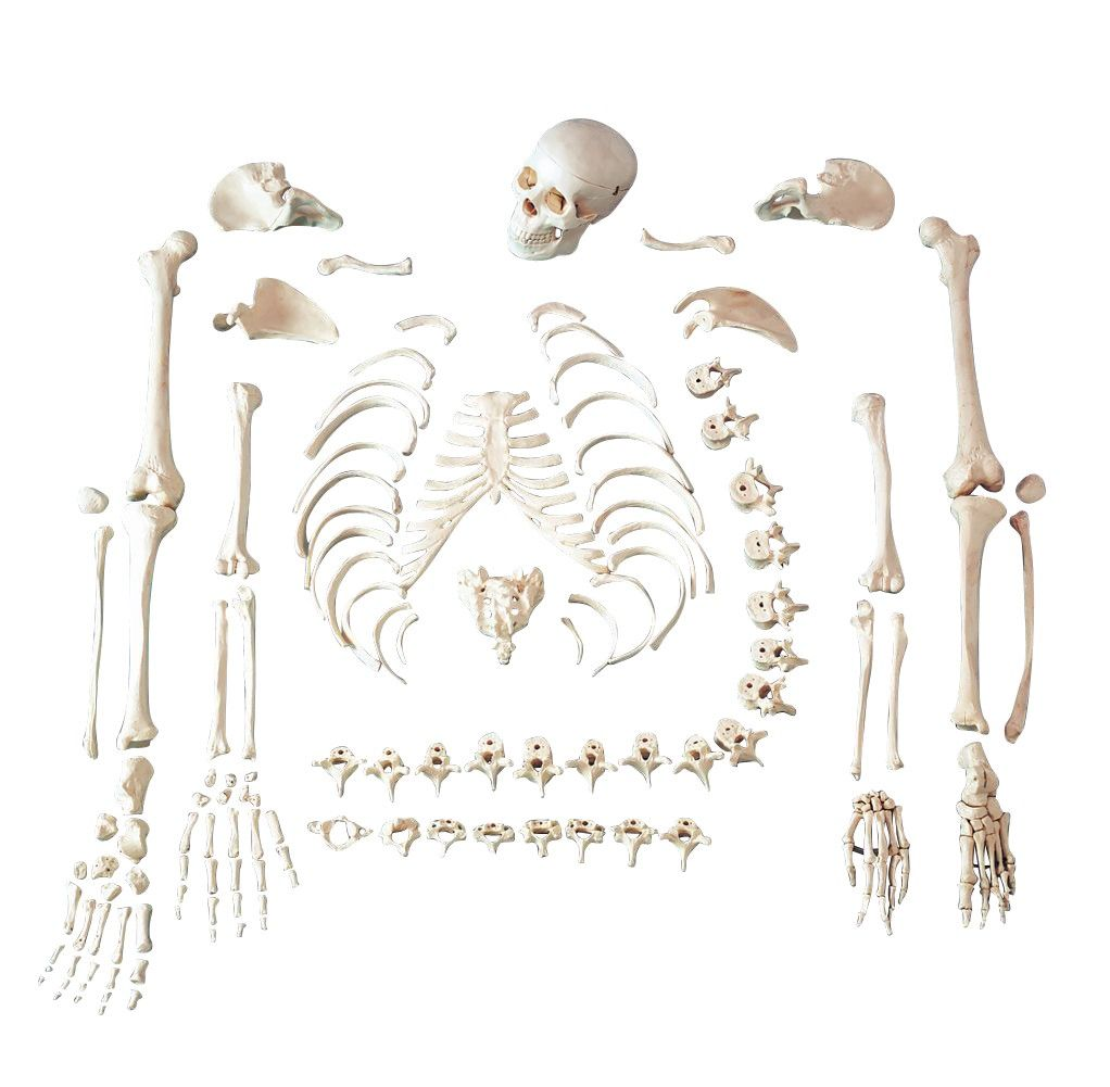 Full Disarticulated Budget Skeleton With Skull Anatomy Model