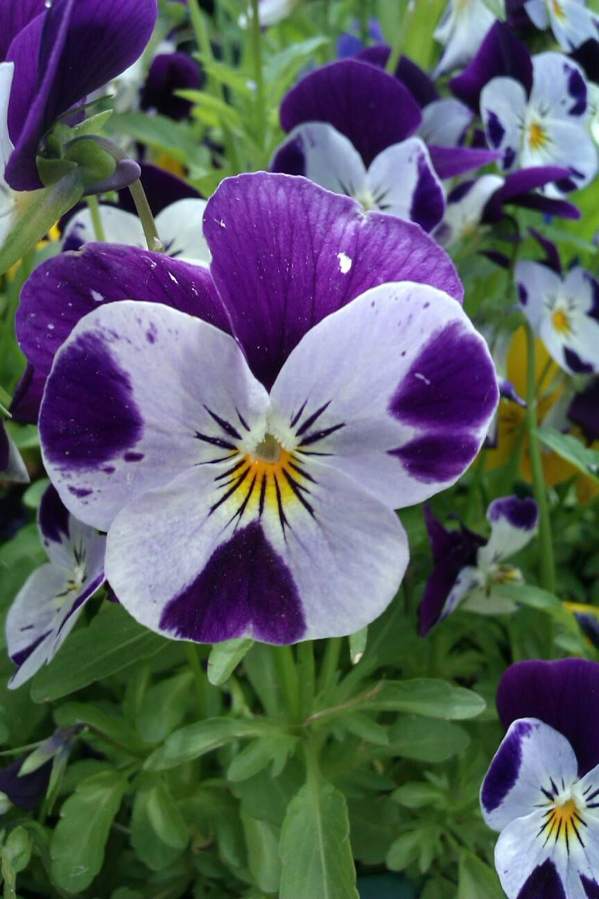 Pansy Like The Purple On Each Petal Pansies Flowers Beautiful Flowers Pansies