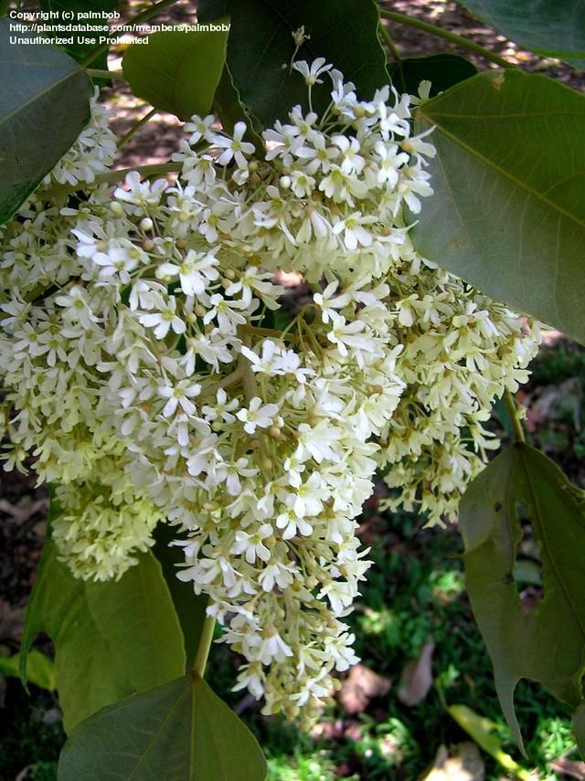 Fragrant Flower Cluster Of Kukui Tree Aka Candleberry Tree