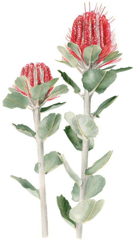 Scientific Illustration Of A Native Australian Plant Banksia It Is Now Available As An Limited Botanical Painting Australian Native Flowers Australian Flowers