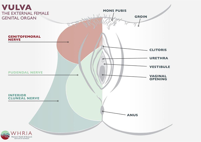 Pudendal Neuralgia Treatment Symptoms Female Anatomy In Relation