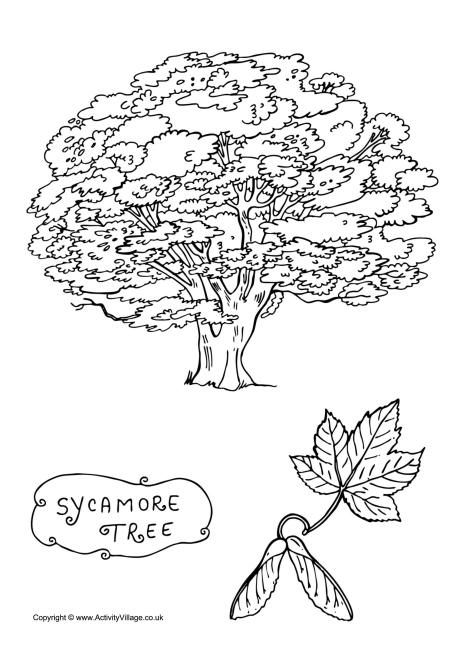 Sycamore Tree Colouring Page Tree Coloring Page Sycamore Tree Coloring Pages