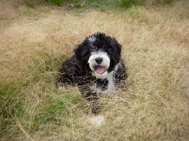 10 Least Smelly Dog Breeds Portuguese Water Dog Smelly Dog Water Dog