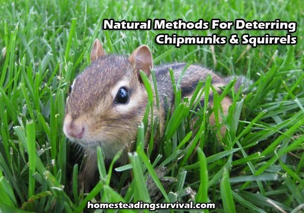 Natural Methods For Deterring Chipmunks & Squirrels