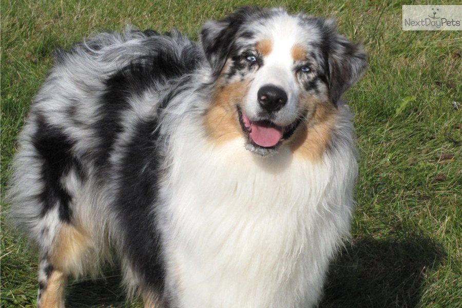 ADOPTED NS 0850 Neekoh Red Merle Mini (With images
