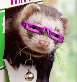 Ferret with glasses! - ferrets Photo