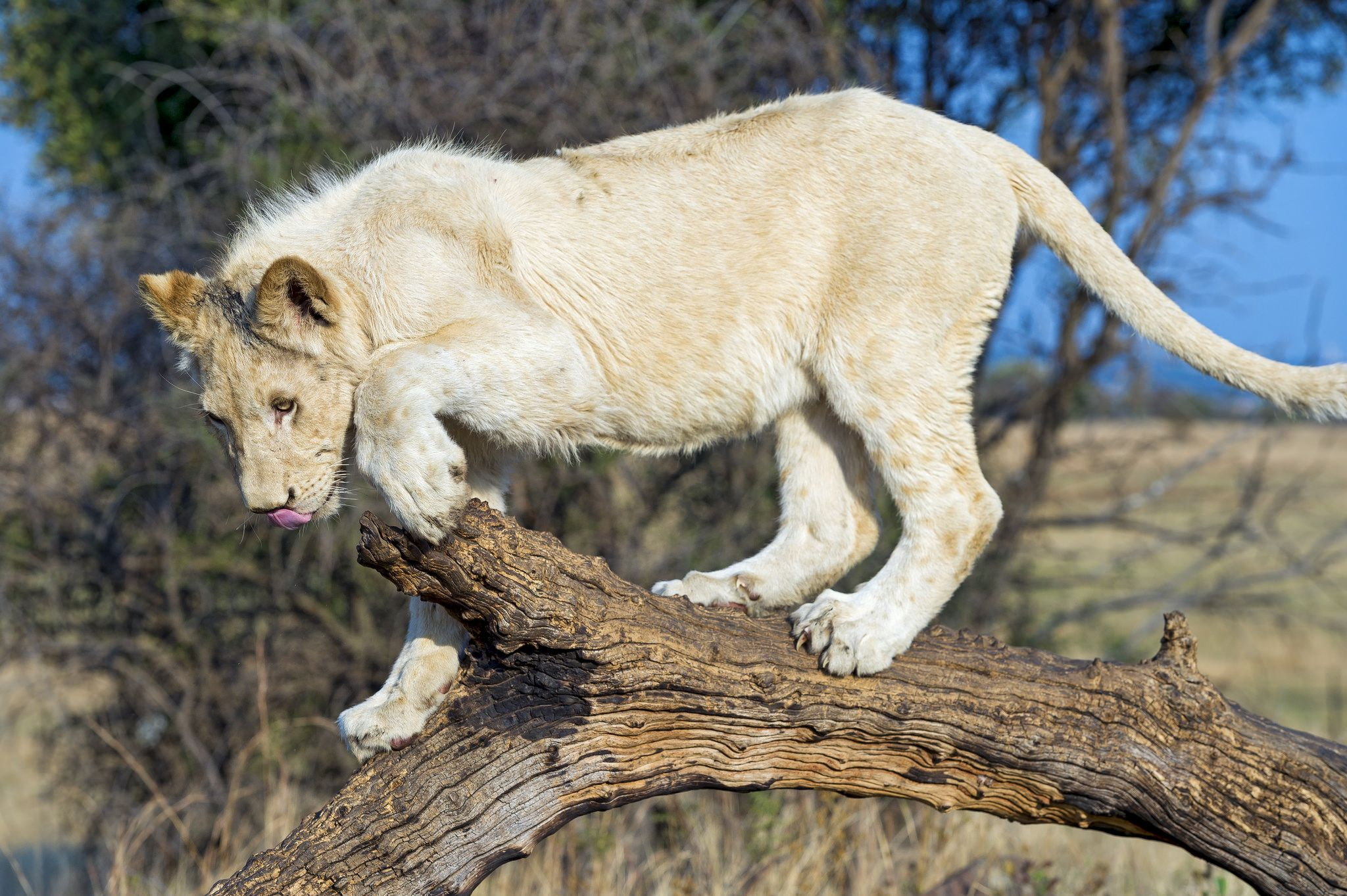 https://flic.kr/p/zMcbRx | Young white lion on the branch | He was walking on this branch... His name is Matsuso.
