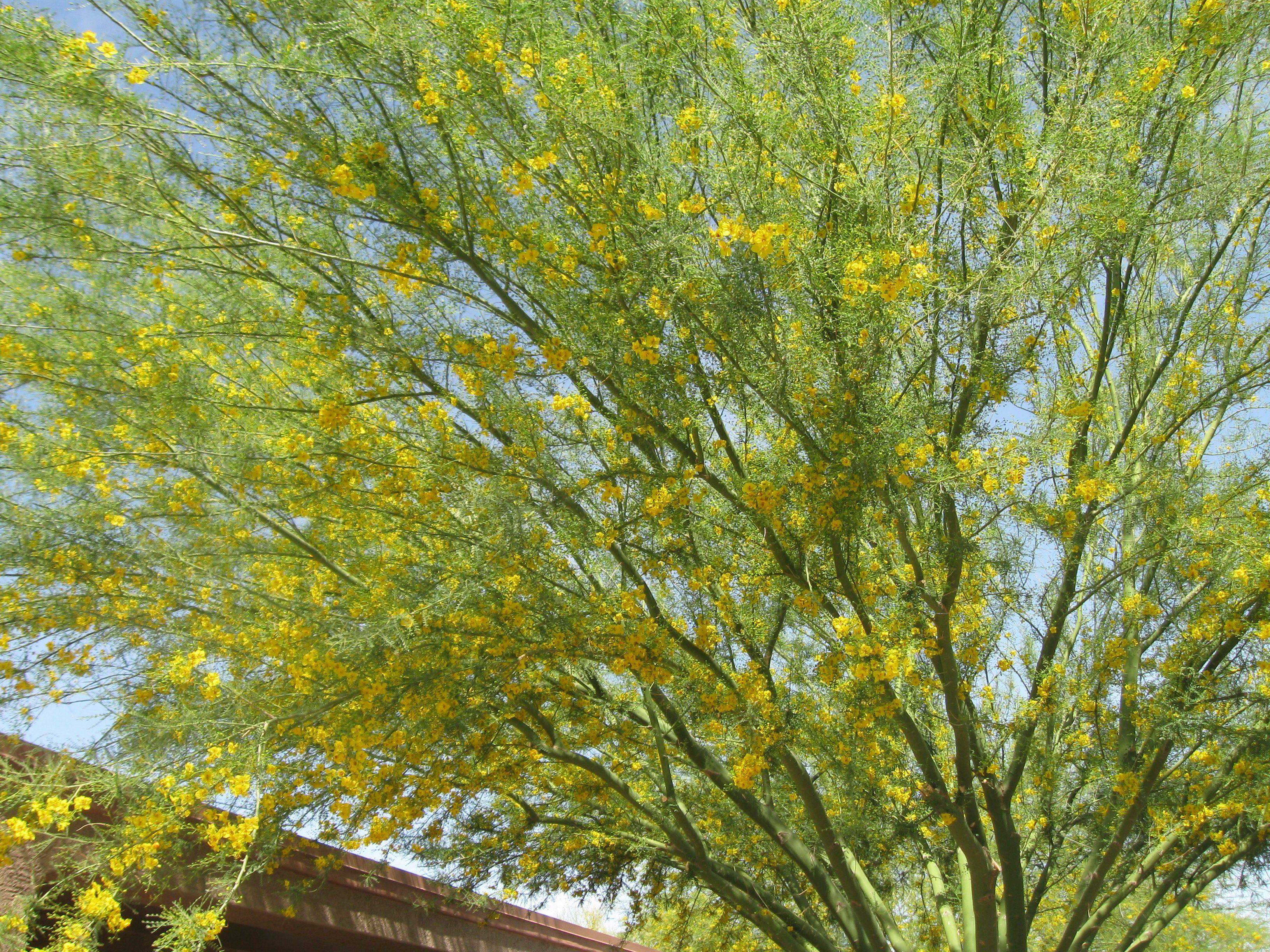 mexican palo verde tree