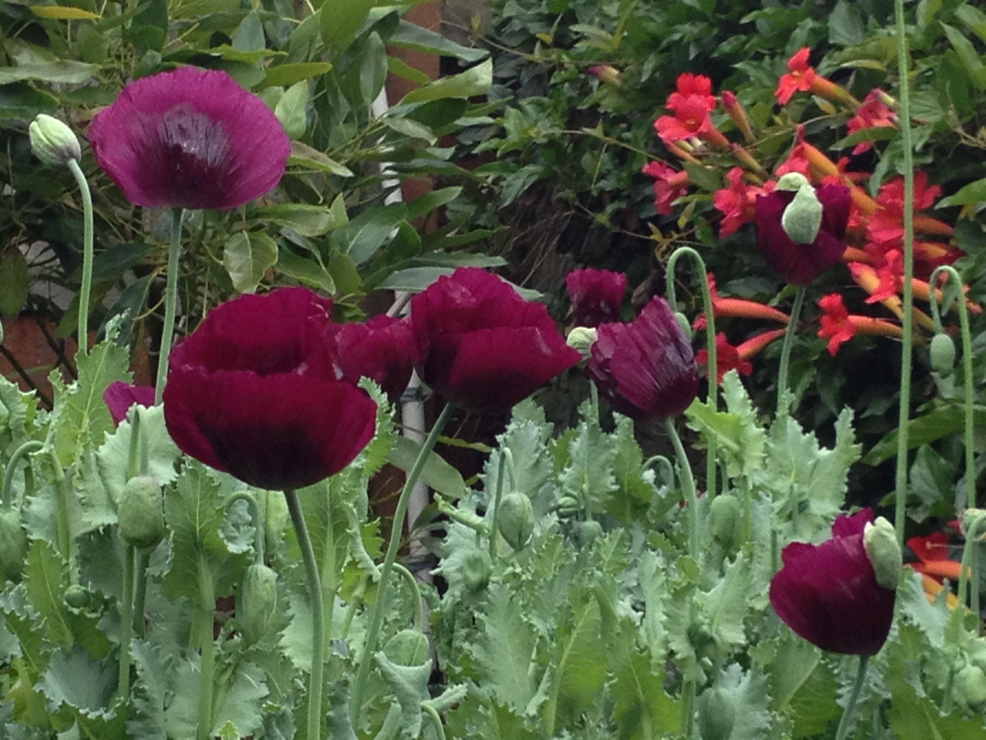 Laurens grape from annies annuals and perenniels the most laurens grape from annies annuals and perenniels the most beautiful poppy ever 5 feet izmirmasajfo Choice Image