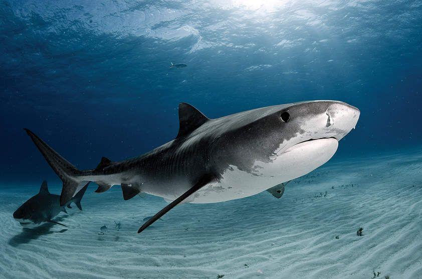 tubarão tigre - Pesquisa Google