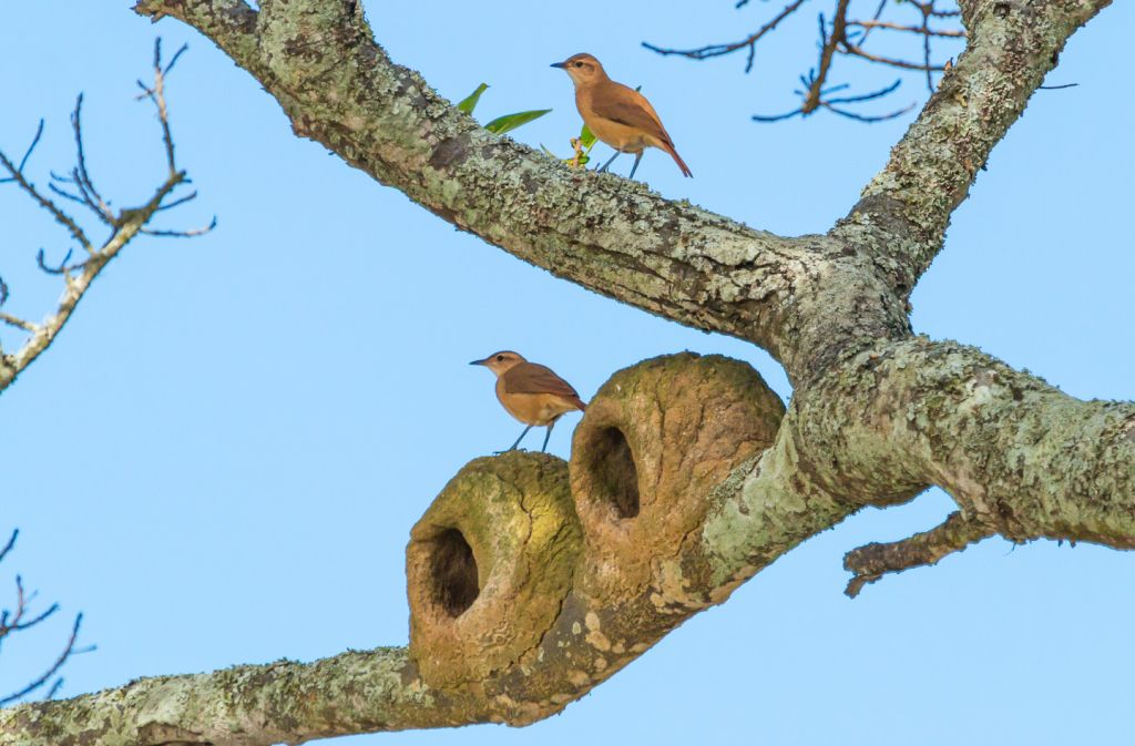Rufous Horneros at the Nest