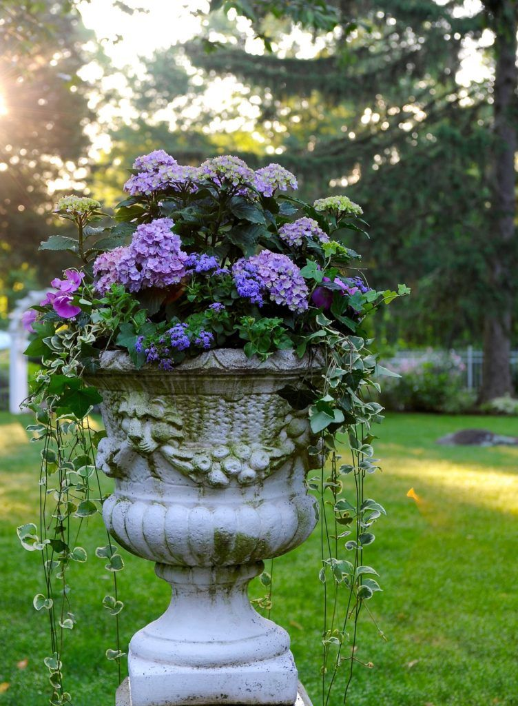 (HYDRANGEA IN STONE URN) Gardens At First Light (Container Garden Ideas 2)