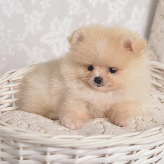 Pomeranian Puppies Puppies Cute Baby Animals Pomeranian Puppy