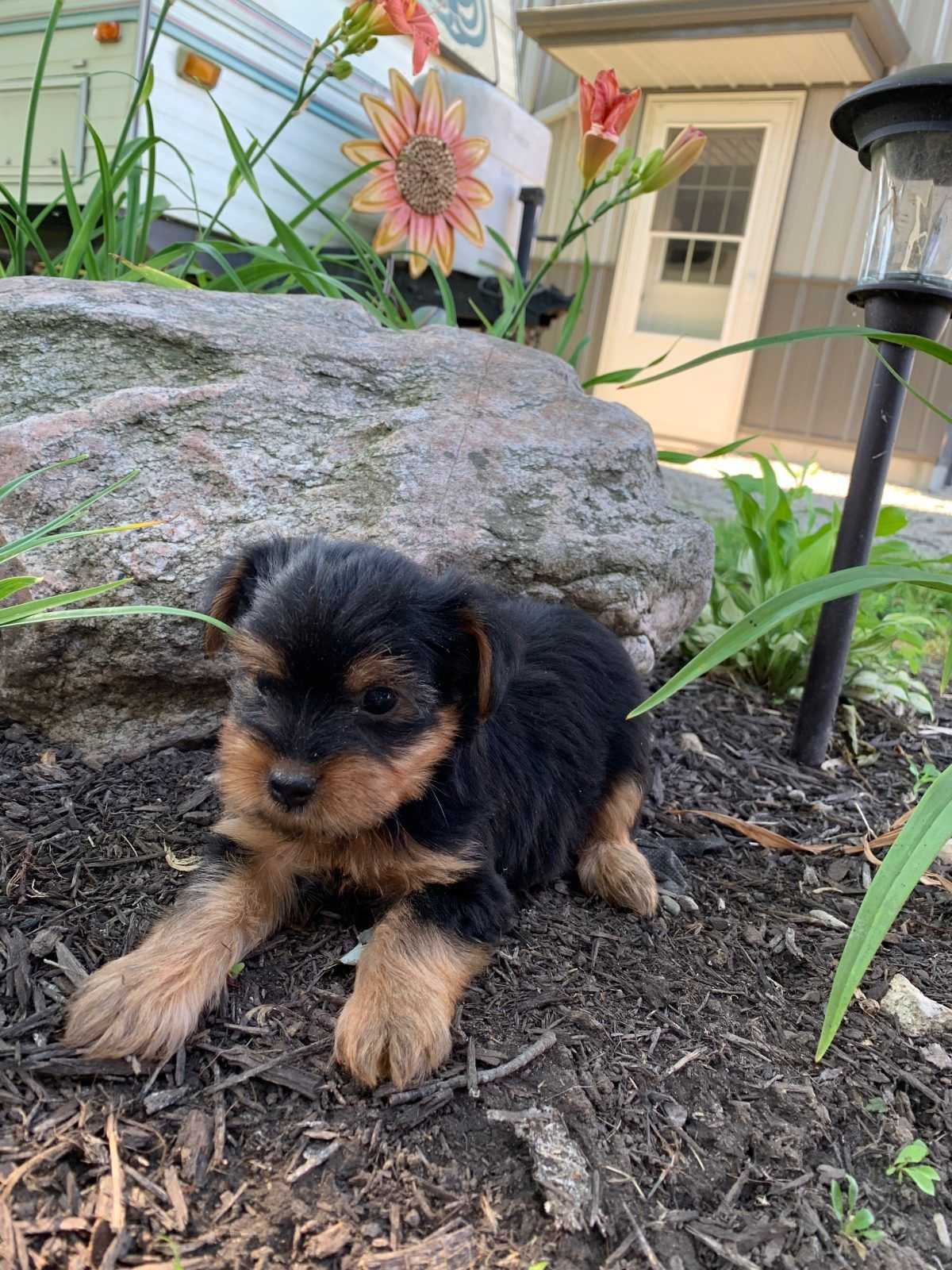 Frank AKC Yorkie puppy for sale in Tuscola, Illinois.