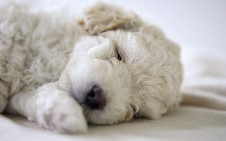 Google-Ergebnis für http://2.bp.blogspot.com/-e1KHEGUZApU/TrO27IddpDI/AAAAAAAABO0/f3OSXuKLRUI/s1600/Bichon-Frise-Dog-Breed-Pictures-7.jpg