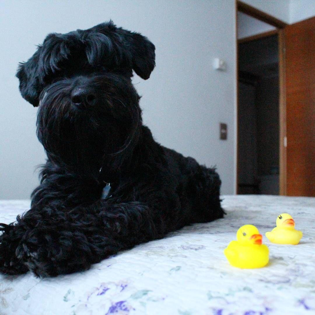 Mi Mordelon ❤�� Happy !! . .  #schnauzer #blackschnauzer #rocky #perroschile #dog #cute #instadaily #instaday #instadog #dailydog #instalife #dogslife #clubschnauzerminiaturachile #perros #animals #dogstagram #dogofworld #doglover #dogs #rocky #photography #photographysouls http://tipsrazzi.com/ipost/1504655022481672129/?code=BThm8VchwfB