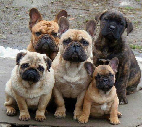 French Bulldogs A Pig And A Mix All Precious French Bulldog