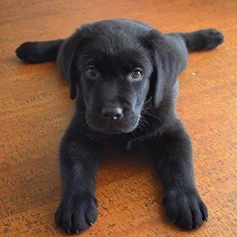 Pin By Johnna Lynn On Animals Lab Puppies Cute Animals Baby