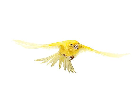 canary2_f.jpg 580×435 pixels