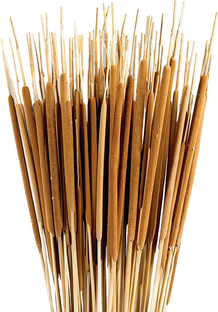 Cattails Pencil 30″ « Dried Flowers; Schusters of Texas