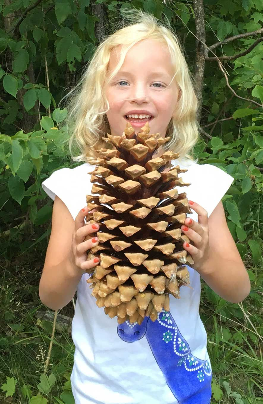 Erika And A Coulter Pine Cone This Is Big And Weights A Ton Sugar Pine Cones Giant Pine Cones Pine Cones For Sale