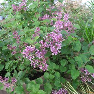 Bloomerang Purple Reblooming Lilac Offers Wonderfully Scented Blooms In Spring With The Bonus Of Additional Blooms Later In The Sea Bloomerang Lilac Container Plants Plants
