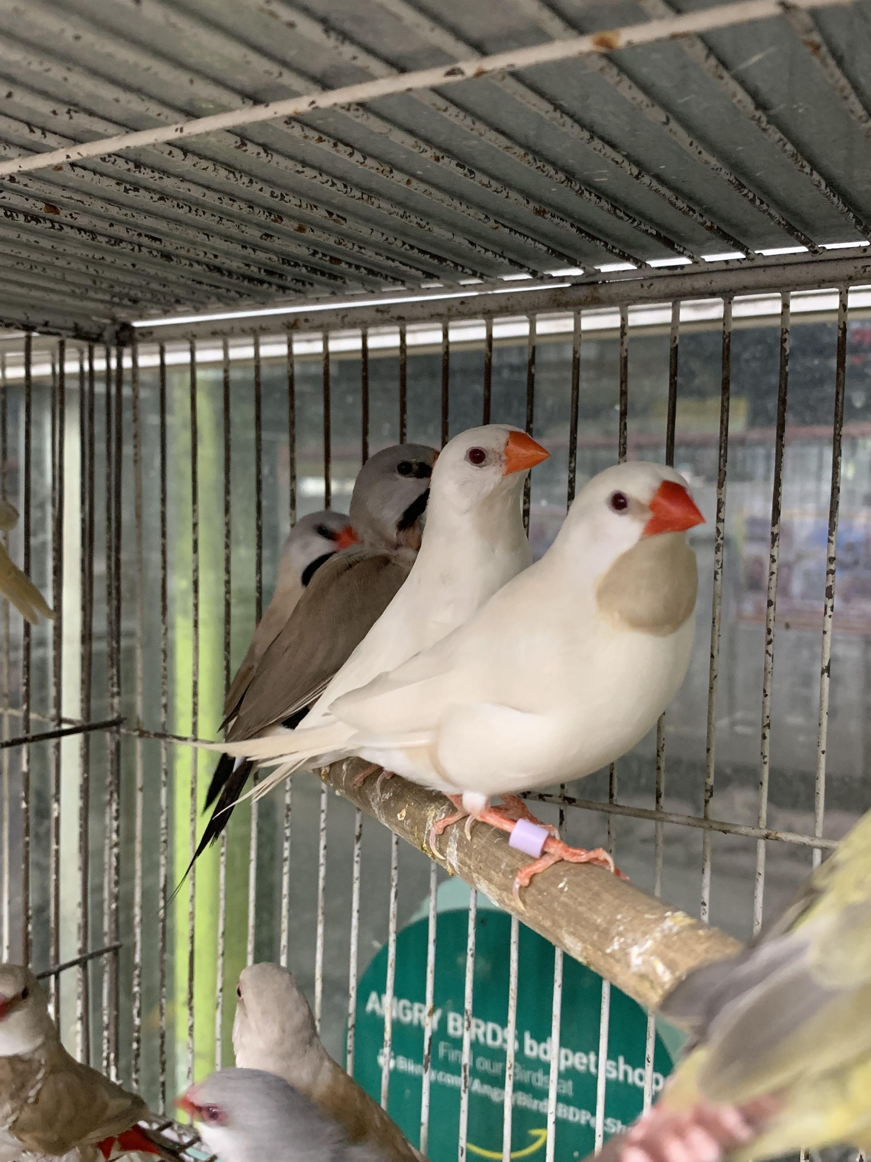 White Longtail Finch Pet Shop Pets Animals
