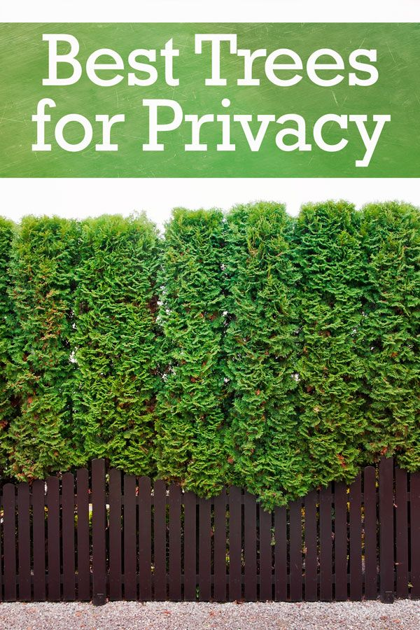 The Top 10 Trees for Backyard Privacy | Privacy ...