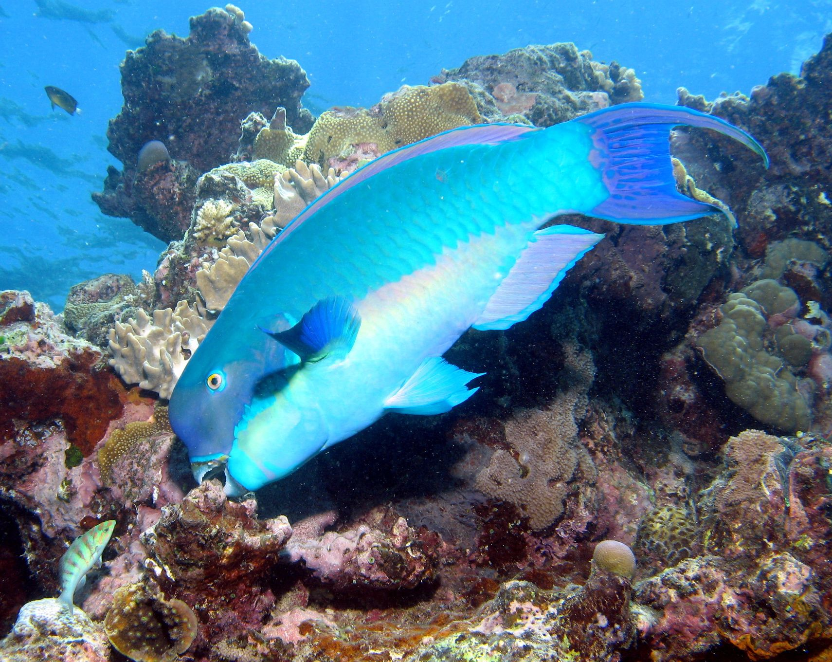 Great Barrier Reef Australia Fish | The GREAT Barrier Reef!!! »  Parrot fish