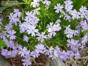 Moss Phlox Non Toxic To Dogs And Cats Ground Cover That May Also Be Distasteful To Gophers Moss Phlox Ground Cover Toxic Plants For Cats