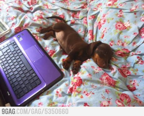 Sleeping beautiful daschound..