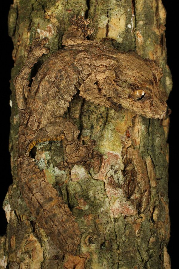 Leaf-tailed gecko, native of Madagascar.  Photograph Treehugger by Mike Martin on 500px