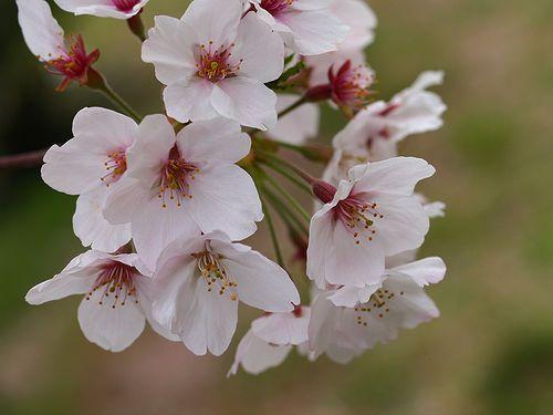 How To Grow A Cherry Blossom Tree