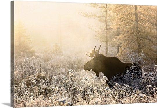 Algonquin Moose Moose Wall Art Large Canvas Prints Canada Art