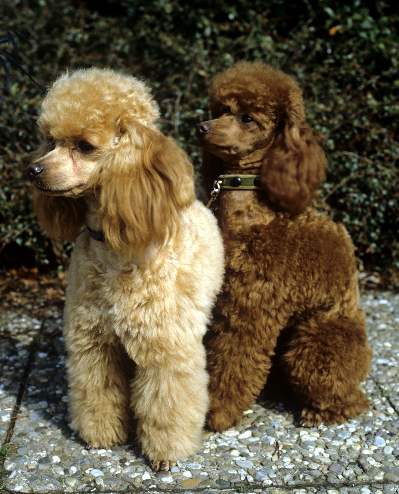Apricot Poodle Dog Breeds That Dont Shed Dog Shedding Pets