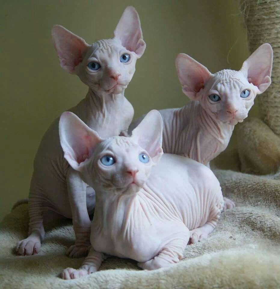Alnakeed Sphynx Scotland Alnakeedsphynx Sphynxlove Sphynx Nakedcats Sphynx Kittens Super Cute Animals Cute Cats Sphynx