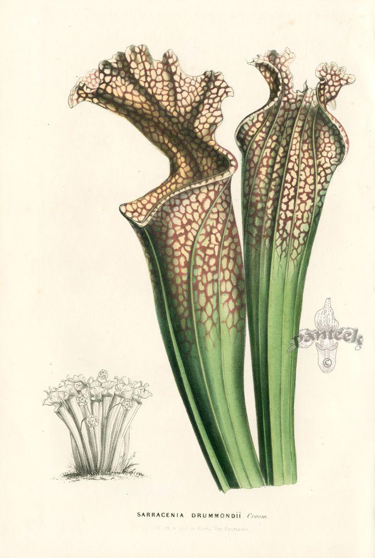 1845 Flore Des Serres Lithograph Aromatic Flavor Rose Energetic Van Houtte