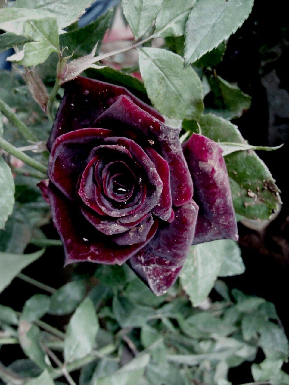Nicksgardenss Black Rose Plant Planting Roses Plants Rose Garden Design