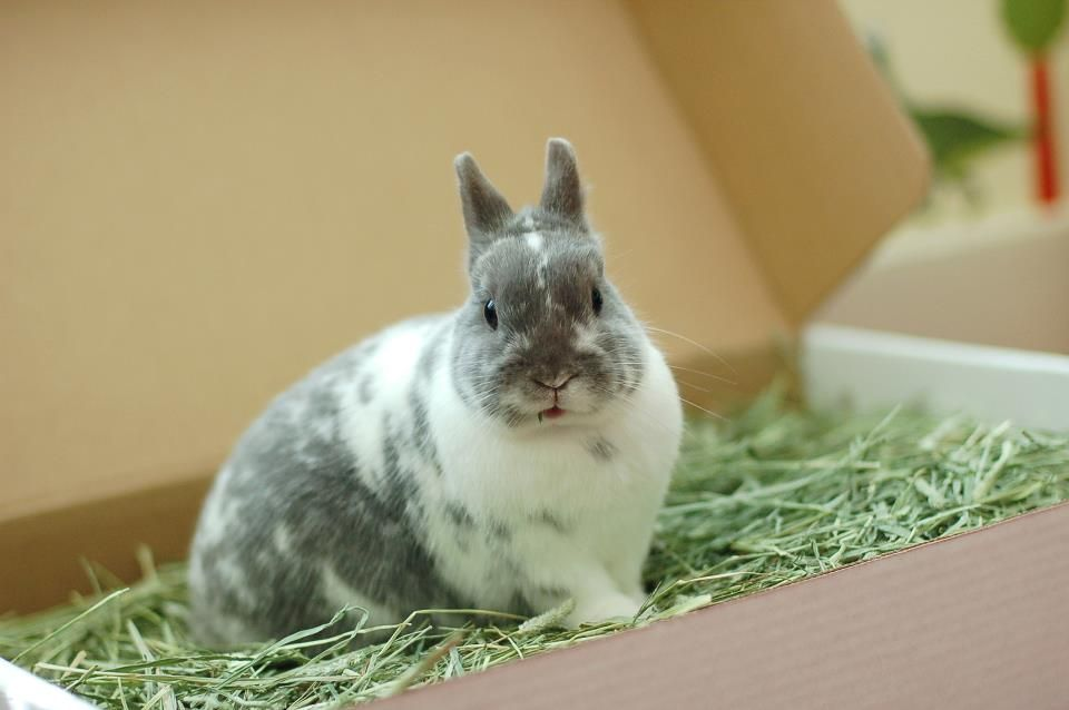 Shiro the rabbit in timothy hay box from Small Pet Select