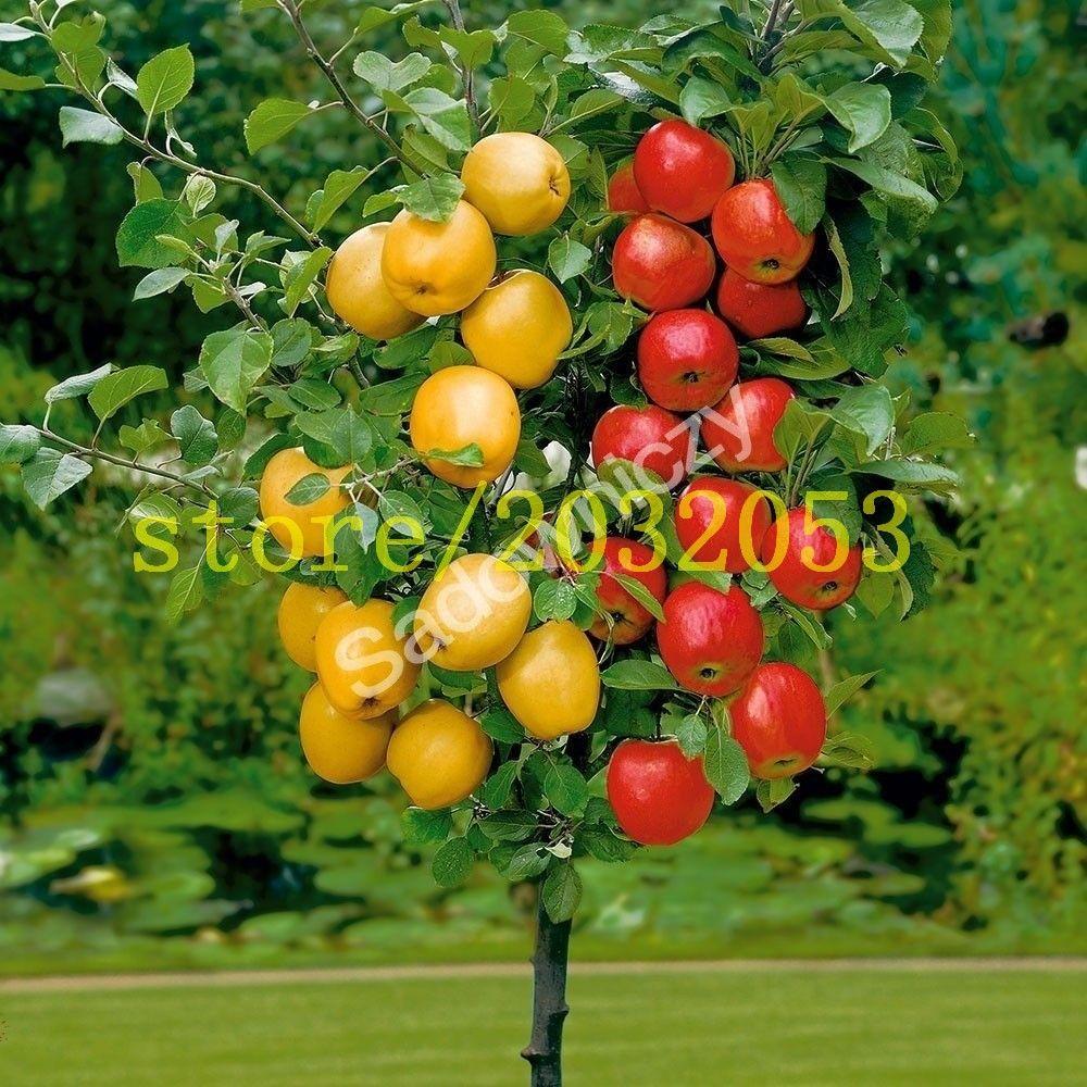 Epic  apple baum samen zwerg bonsai apple baum mini fruit samen f r zuhause garten pflanzen senden