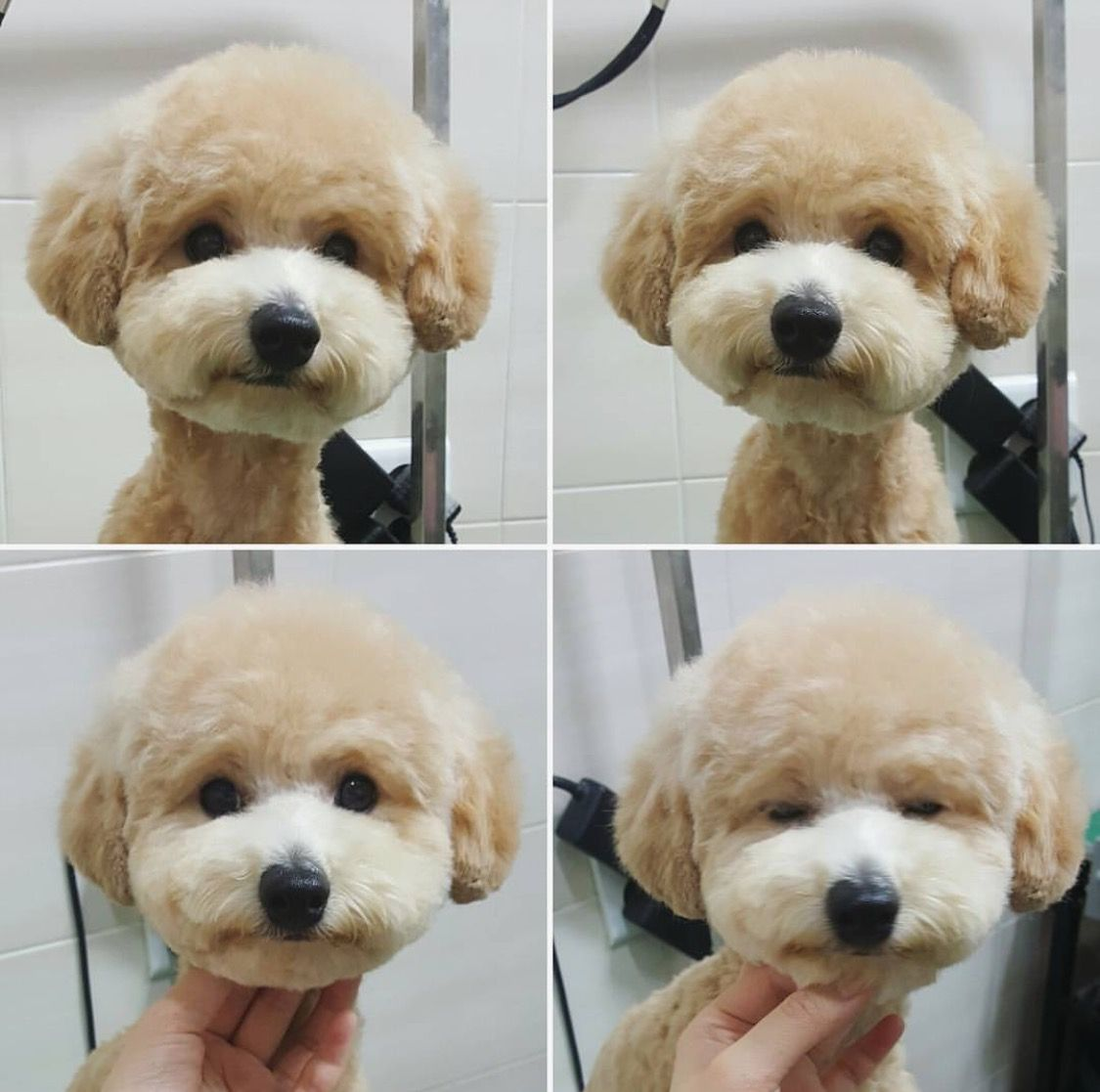 Grooming More doggie style lol Pinterest Dog Grooming Poodle