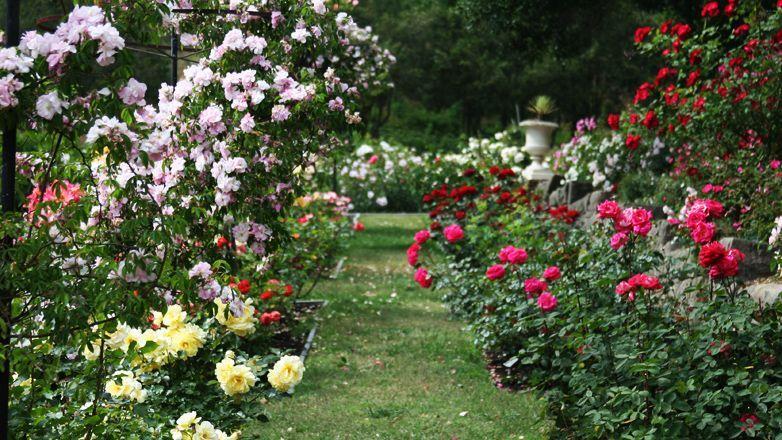 Un giardino di rose u foto stock lizzylou