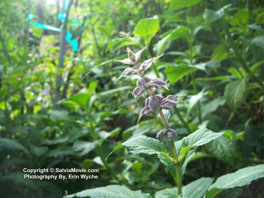 Psychedelic plant Salvia Divinorum w/ purple flowers   Psychedelic ...