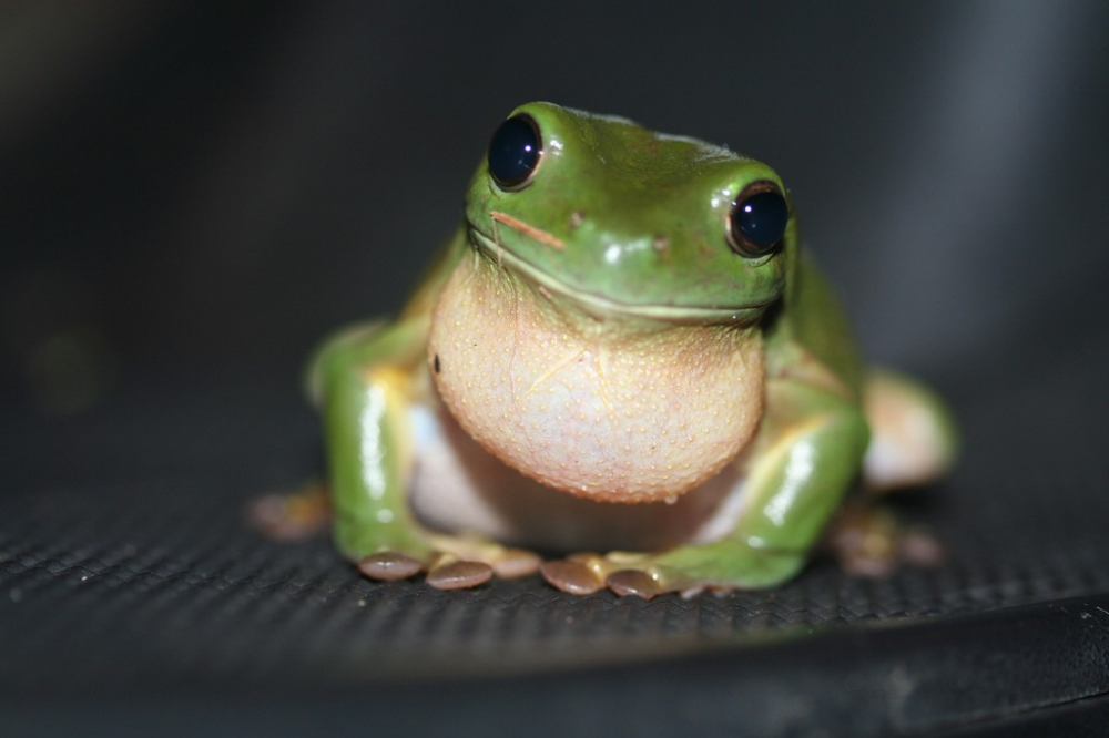 Green tree frogs are one of the most popular pet frogs. This article provides information about the green tree frog's natural characteristics and habit, and offers tips on how to care for them.