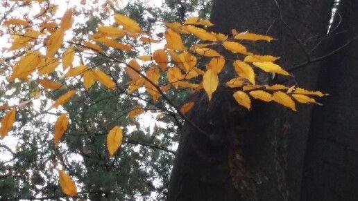 노랗게 물든 단풍잎
