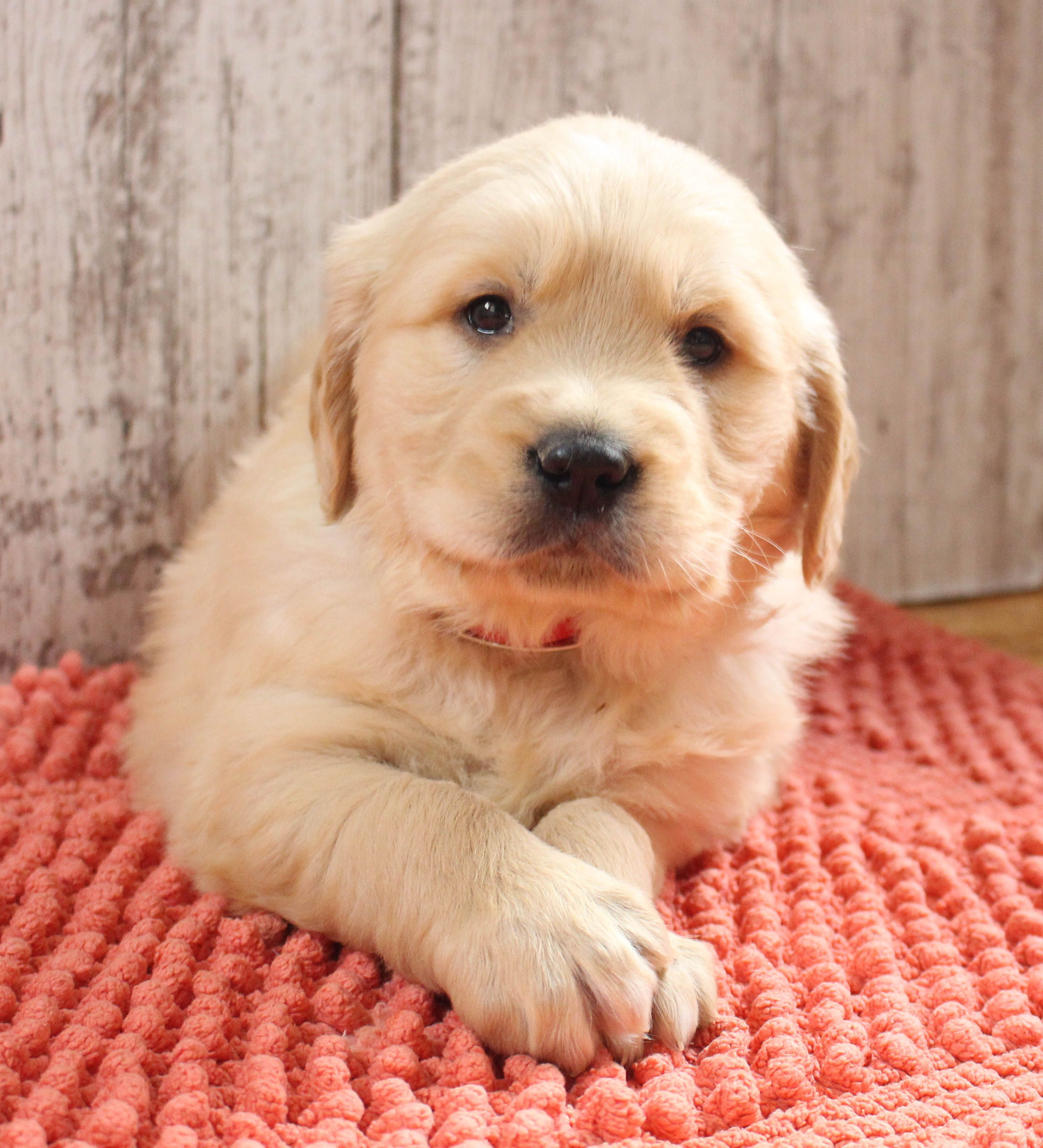 Prince Puppies Puppy Finder Puppies Near Me