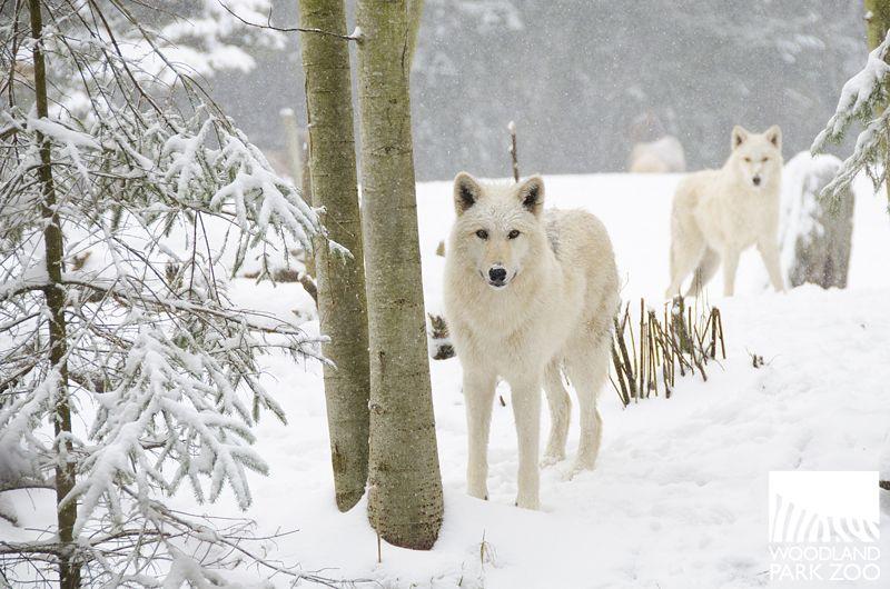 Woodland Park Zoo Blog Woodland Park Zoo Wolf Dog Animals Wild